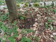 Rehe scharren das Laub weg, um sich so vor dem lästigen Krabbeln der Insekten zu schützen