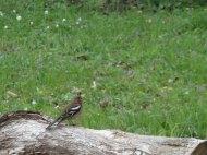 Singender Buchfink