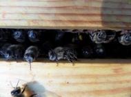 Der Bienenpelz verrät die Jungbienen. Sie sind erst wenige Tage alt.