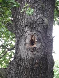 Ein wildlebendes Honigbienenvolk in einem Astloch einer alten Eiche.