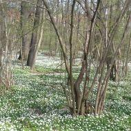 Buschwindröschen in einem Wäldchen südlich von Leipzig.